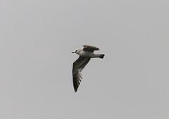 Mew gull (Larus canus) (MagnusGustafsson) Tags: bird birds gull mew larus fglar canus fiskms