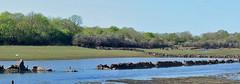 Wild Swan at Coole (mishko2007) Tags: ireland turlough 105mmf28 coolepark