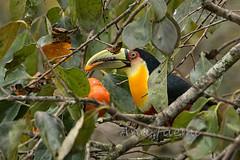 ATU_4543_Tucano de Bico Verde_HR (Ana Taemi) Tags: toucan natureza tucano camposdojordo serradamantiqueira ramphastosdicolorus redbreastedtoucan tucanodebicoverde tucanodobicoverde