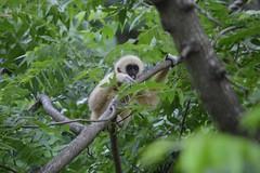 Baby gibbon! (citizen for boysenberry jam) Tags: wild baby animals zoo texas waco waza gibbon aza cameronparkzoo whitehandedgibbon