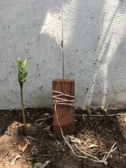 Scarlet runner beans emerging (Living in Monrovia) Tags: new scarlet vegetable bean climbing dirt runner emerging planting
