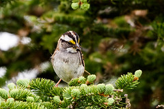 White-throated Sparrow, Northern Pond Road (frank.king2014) Tags: ca canada stjohns whitethroatedsparrow newfoundlandandlabrador
