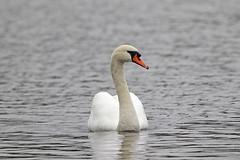 Mute Swan (Alan Gutsell) Tags: white lake nature birds animal alan swan wildlife birding mute muteswan