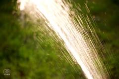 Watering (cchana) Tags: water grass garden sprinkler flowing watering hosepipe