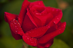 Afternoon Rain #23 (dleany) Tags: red macro rose bokeh raindrops 100mmf28l 5dmkii