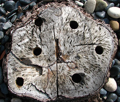 tree cross-section 2 (lisafree54) Tags: wood plant tree texture nature gray free holes streaks crosssection cco freephotos