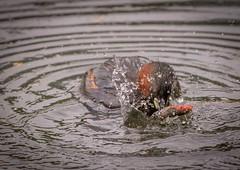 Bashing the Fish (Chris Willis 10) Tags: fish bird nature water fishing little wildlife grebe stickleback