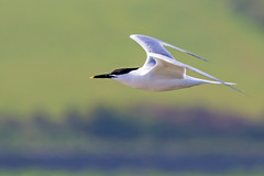 Sandwich Tern (coopsphotomad) Tags: tern commontern wildlife nature flight explored explore