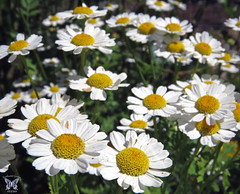 Feverfew flowers (Swallowtail Garden Seeds) Tags: flowers white flower macro daisies daisy herb feverfew tanacetum tanacetumparthenium swallowtailgardenseeds