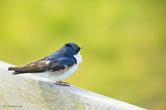 Tree Swallow (A. Shamandour) Tags: new city blue sunset england storm motion color building bird water boston clouds speed sunrise boats lights cityscape slow massachusetts details sharp syria scape damascus towards shutterspeed waterscape treeswallow