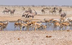 PGC_7531-20150925 (C&P_Pics) Tags: na bovidae namibia ostriches oryx springbok burchellszebra etoshanationalpark oshana bluewildebeast hartmansmountainzebra okaukuejocamptodolemitecampandhobarterelodge