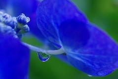 Water droplets and hydrangea (usotuki) Tags: blue water rain purple kamakura drop hydrangea  hasedera        smcpentaxda35mmf28macrolimited pentaxk7