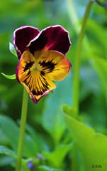 pansy (gshaun12) Tags: plant flower colour macro green nature yellow closeup purple bokeh pansy fantasticnature macrodreams