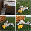 Adventures with Duckie (DiamondBonz) Tags: dog pet grass collage play hound handsome whippet belly duckie spanky