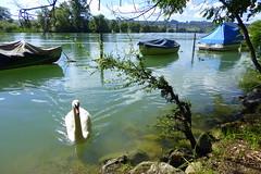 Fauchender Schwan... (Alfesto) Tags: river schweiz switzerland jura fluss schwan solothurn aare grenchen altreu kantonsolothurn aarewanderung