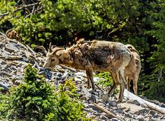 female bighorn sheep - sulphur mtn, banf NP, canada (AB) 3 (Russell Scott Images) Tags: canada mountains rocky ab canadian alberta banff banffnationalpark bighornsheepoviscanadensis