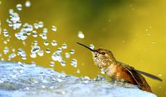 """REFRESHING PLEASURE (Roy Hancliff) Tags: canada bird nature water vancouver island hummingbird bc wildlife feature rufous"