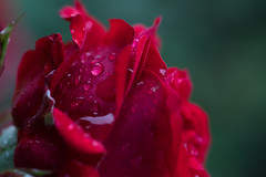 Rose (phagileo) Tags: red flower macro green nature water rose droplets drops nikon bokeh sigma dew 105 waterdrops makro d3300