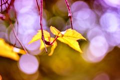 Dreamy bokeh (Sizun Eye) Tags: macro leaves wednesday nikon bokeh sigma d750 105mm sizun bokehwednesday nikond750 sizuneye sigmamacro105mmf28exd