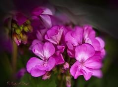 Pink (IndyMcDuff (Bellifemine Studios)) Tags: pink flowers spring springflowers fightbreastcancer maryannfenton