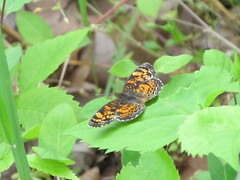Pearl Crescent (jdf_92) Tags: butterfly may maryland crescent pearl cocanal phyciodestharos