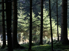Hope (dorena-wm) Tags: light shadow tree nature silhouette forest licht march spring ast branch natur wald spruce schatten baum mrz 2012 fichte tannenbaum frhling firtree zweig nadelbaum dorenawm eberfing