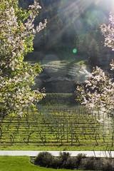Sun Rays in the wine ward, Penticton, Okanagan Valley, BC, Canada (Marie-Marthe Gagnon) Tags: pink trees light sun canada landscape spring wine flare rays prairies contemplative mariemarthegagnon