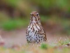 Tordo-pinto / Song Thrush (anacm.silva) Tags: wild bird portugal nature birds nikon wildlife natureza aves ave tordo songthrush vidaselvagem turdusphilomelos serradafreita anasilva tordopinto nikond40x