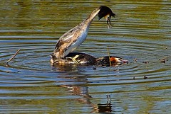 Grebes Mating #3 (Oldt1mer - Keith) Tags: england reflection water nest sony mating ritual sthelens grebe greatcrestedgrebe grebes carrmill a65 carrmilldam sonya65 slta65