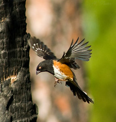 Flying Towhee (ac4photos ( More off than on - Computer Woes )) Tags: bird nature inflight florida wildlife birdwatcher easterntowhee bwg