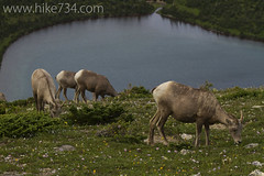 "Bighorn Sheep • <a style=""font-size:0.8em;"" href=""http://www.flickr.com/photos/63501323@N07/7085732639/"" target=""_blank"">View on Flickr</a>"