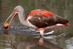 Jonge Rode Ibis (K.Verhulst) Tags: birds rotterdam blijdorp vogels ibis nl scarletibis blijdorpzoo diergaardeblijdorp rotterdamzoo rodeibis