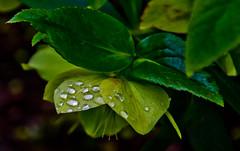 Green and wet.. (Omygodtom) Tags: green nature rain lens leaf nikon drop pdx hiding 18105 d7000