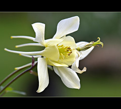 A Floral Missile (Eleanor (WHU)) Tags: garden aquilegia thelook flowerbasket floralfantasy thethreeangels flowersarebeautiful betterthangood worldofflowers qualifiedmembersonly flickrsawesomeblossoms unforgettableflowers addictedtoflowers flowersonflickr weallloveflowers beautifulflowergroup flowers4you flowerblossomgroup madaboutflowers