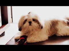 LOLA (dirceu1507) Tags: dog dogs cane shihtzu lola perro cachorro cães perros cachorros mascota
