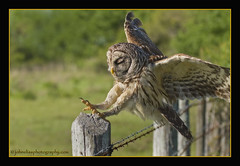 Barred Owl Landing (John Elias Photography) Tags: dinner island flying dynamic action fierce free sharp landing raptor owl barred talons johneliasphotography