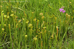 Grass Pink Orchid and Pale Pitcher Plants (Matt Buckingham) Tags: orchid nature texas orchids bog carnivorousplants pitcherplant savanna easttexas carnivorousplant naturephotography sarracenia sarraceniaalata calopogon calopogontuberosus grasspinkorchid bigthicket palepitcherplant longleafpinesavanna mattbuckingham wetlandsavanna wetlandpinesavanna longleafpinesavannawetland
