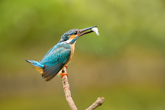 .~  ~. (Fu-yi) Tags: color cute bird birds animal minolta bokeh sony taiwan 328 300mm taipei lovely alpha dslr        neihu commonkingfisher alcedoatthis formosan    alcedinidae         bestcapturesaoi  blinkagain