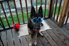 DSC_6426 (aerofan245) Tags: birthday party dog 3 shepherd sage german superhero batman batdog gsd