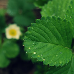 bright green leaves (lydiafairy) Tags: flower green nature wet leaves fruit garden washington strawberry bokeh raindrop ediblelandscape thisyeariamgrowingalotofmyownfood