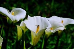 Copo de leite (violetflower) Tags: flowers light white flower luz branco insect flor copodeleite naturethroughthelens