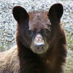 Cinnamon Bear (annkelliott) Tags: explore blackbear interestingness282 cinnamonblackbear explore2012may15