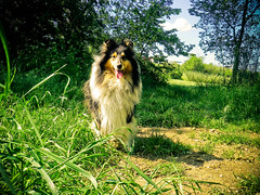 cagnolina! (Hermio-Black) Tags: dog dogs field cane collie candy country lassie collies