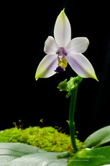 Phalaenopsis violacea v. coerulea