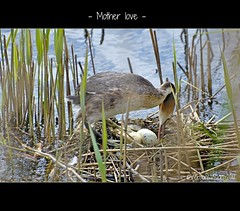 - Mother love - (VeroonsVision) Tags: may eggs brooding mei vogel brood fuut eieren motherlove greatcrestedgrebe podicepscristatus haubentaucher moederliefde grbehupp broeden nikond90 veronicavanpeet veroonsvision spring2012