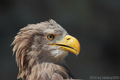 Seeadler (Haliaeetus albicilla) (hellboy2503) Tags: portrait bird nature birds canon germany deutschland photography tiere fly photo top air natur adler feathers photographers images gelb raptor 7d getty grn blau creatures vgel landschaft wald weiss luft raubvogel tier vogel gettyimages uhu jrg kreatur fliegen geier greifvgel flieger beute jger eulen federn sperber 100400 thegalaxy gefieder seeadler burgguttenberg gettyimagescallforartists gettyimagesartistpicks hellboy2503 httpwwwgreifenwartede allofnatureswildlifelevel2 allofnatureswildlifelevel3 allofnatureswildlifelevel4 rememberthatmomentlevel4 rememberthatmomentlevel1 rememberthatmomentlevel2 rememberthatmomentlevel3 rememberthatmomentlevel7 rememberthatmomentlevel9 rememberthatmomentlevel5 rememberthatmomentlevel6 rememberthatmomentlevel8