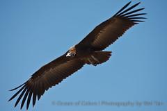 Flying Vulture (Rhapsody-In-Blue) Tags: bird canon tanzania wildlife safari vulture serengeti hoodedvulture necrosyrtesmonachus