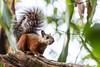 variegated squirrel (Sciurus variegatoides) Costa Rica (mikebaird) Tags: costarica mikebaird