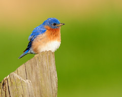 Eastern Bluebird (snooker2009) Tags: morning blue wild orange green bird nature sunrise outside outdoors happy wings colorful post wildlife wing feathers feather happiness perch perched bluebird eastern avian songbird plumage perching