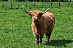 Highland Cow 1 (Diko G.W.Dont like the new setting) Tags: mygearandme me2youphotographylevel2 me2youphotographylevel1
